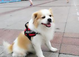 寻狗启示,寻找一只蝴蝶犬窜子,重金酬谢,它是一只非常可爱的宠物狗狗,希望它早日回家,不要变成流浪狗。