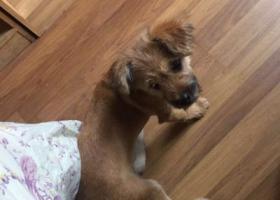 寻狗启示,广中西路大宁公园附近捡到小狗,它是一只非常可爱的宠物狗狗,希望它早日回家,不要变成流浪狗。