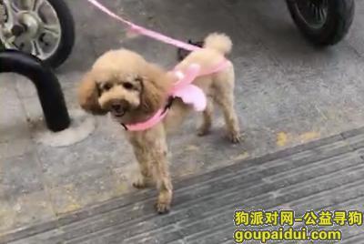徐州捡到狗,2019年5月28晚捡到一只香槟色泰迪,它是一只非常可爱的宠物狗狗,希望它早日回家,不要变成流浪狗。