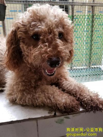 深圳捡到狗,母泰迪。不乱叫不乱咬东西很挑食,它是一只非常可爱的宠物狗狗,希望它早日回家,不要变成流浪狗。