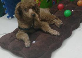 寻狗启示,找狗,寻狗,丢失泰迪狗,它是一只非常可爱的宠物狗狗,希望它早日回家,不要变成流浪狗。