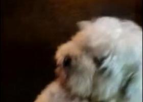 寻狗启示,狗狗不小心走丢了,一只白色比熊,名叫火腿,希望大家帮忙留意一下,提供信息者必有重谢。,它是一只非常可爱的宠物狗狗,希望它早日回家,不要变成流浪狗。