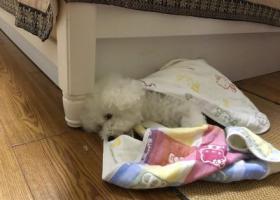 寻狗启示,厦门湖里区求助找寻比熊小公狗,它是一只非常可爱的宠物狗狗,希望它早日回家,不要变成流浪狗。