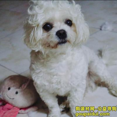 ,寻狗:潢川县宁西路环城路 白比比熊串串,它是一只非常可爱的宠物狗狗,希望它早日回家,不要变成流浪狗。
