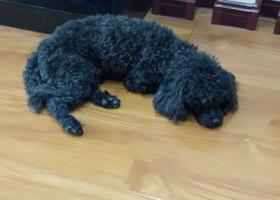 寻狗启示,爱犬黑色长尾泰迪狗丢失,它是一只非常可爱的宠物狗狗,希望它早日回家,不要变成流浪狗。