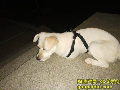 武汉寻狗主人,洪山区珞瑜东路军械士官学院发现的,它是一只非常可爱的宠物狗狗,希望它早日回家,不要变成流浪狗。