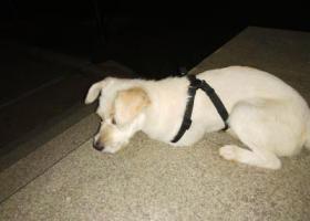 寻狗启示,洪山区珞瑜东路军械士官学院发现的,它是一只非常可爱的宠物狗狗,希望它早日回家,不要变成流浪狗。
