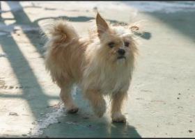 寻狗启示,寻找丢失的宠物可爱狗狗,它是一只非常可爱的宠物狗狗,希望它早日回家,不要变成流浪狗。