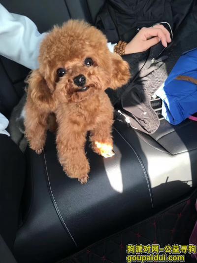 淮北寻狗启示,淮北三马路妇幼中心附近走失泰迪,它是一只非常可爱的宠物狗狗,希望它早日回家,不要变成流浪狗。