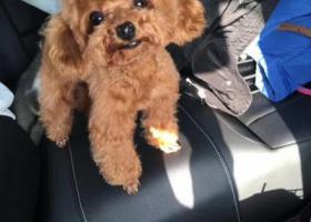 寻狗启示,淮北三马路妇幼中心附近走失泰迪,它是一只非常可爱的宠物狗狗,希望它早日回家,不要变成流浪狗。