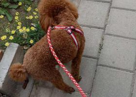 寻狗启示,寻泰迪狗贝贝,于天津河北区走失,它是一只非常可爱的宠物狗狗,希望它早日回家,不要变成流浪狗。