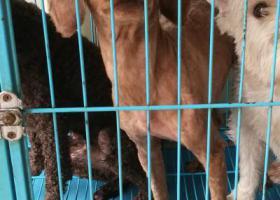 寻狗启示,惠山区5.26号钱桥大街丢失一条棕色泰迪(毛全铲光),它是一只非常可爱的宠物狗狗,希望它早日回家,不要变成流浪狗。