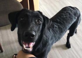 寻狗启示,我家拉布拉多纯黑狗叫(hendy黑迪)在东莞虎门大宁走丢,它是一只非常可爱的宠物狗狗,希望它早日回家,不要变成流浪狗。