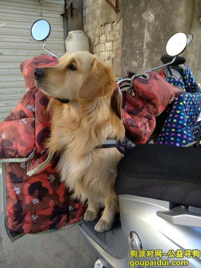 盐城找狗,寻找爱犬金毛,他是我家成员!,它是一只非常可爱的宠物狗狗,希望它早日回家,不要变成流浪狗。