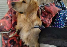 寻狗启示,寻找爱犬金毛,他是我家成员!,它是一只非常可爱的宠物狗狗,希望它早日回家,不要变成流浪狗。