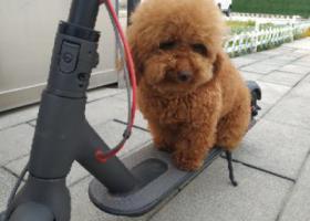 寻狗启示,5月24日上午在高铁站附近丢失的泰迪,它是一只非常可爱的宠物狗狗,希望它早日回家,不要变成流浪狗。