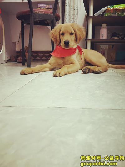 三门峡寻狗启示,河南省三门峡市湖滨区老甘棠菜市场4个月金毛走丢,它是一只非常可爱的宠物狗狗,希望它早日回家,不要变成流浪狗。