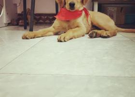 寻狗启示,河南省三门峡市湖滨区老甘棠菜市场4个月金毛走丢,它是一只非常可爱的宠物狗狗,希望它早日回家,不要变成流浪狗。