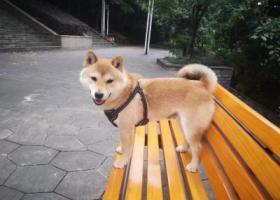 寻狗启示,柴犬丢失 有偿寻找 江北区鲁能星城十街区,它是一只非常可爱的宠物狗狗,希望它早日回家,不要变成流浪狗。