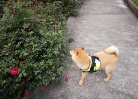 寻狗启示,有偿寻狗 重庆江北区鲁能十街区,它是一只非常可爱的宠物狗狗,希望它早日回家,不要变成流浪狗。