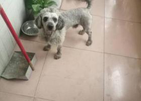 寻狗启示,长尾灰色贵宾在在厚街三屯公园对面金骏公寓走丢,它是一只非常可爱的宠物狗狗,希望它早日回家,不要变成流浪狗。