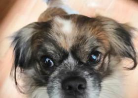 寻狗启示,京巴狗走失,帮助寻回者发2000元红包,它是一只非常可爱的宠物狗狗,希望它早日回家,不要变成流浪狗。