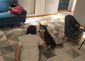 寻狗启示,岳麓区咸嘉新村丝竹艺术捡到一只哈士奇老乖老乖了,它是一只非常可爱的宠物狗狗,希望它早日回家,不要变成流浪狗。