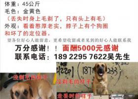 寻狗启示,东莞高埗走失大型犬  重酬5000元,它是一只非常可爱的宠物狗狗,希望它早日回家,不要变成流浪狗。