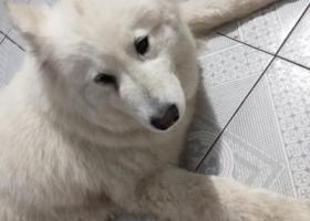 寻狗启示,寻找狗主人希望与我联系,它是一只非常可爱的宠物狗狗,希望它早日回家,不要变成流浪狗。
