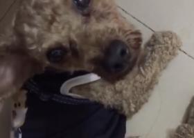 寻狗启示,南宁江南区碧园·南城故事丢失一只泰迪,它是一只非常可爱的宠物狗狗,希望它早日回家,不要变成流浪狗。