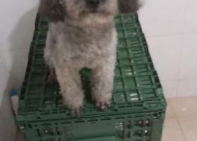 寻狗启示,寻找丢失的灰色泰迪,娄桥附近,它是一只非常可爱的宠物狗狗,希望它早日回家,不要变成流浪狗。