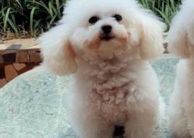 寻狗启示,急寻一只小型白色贵宾(泰迪),于6月2日下午在北门桥处跌下电动车,悬赏2000元,它是一只非常可爱的宠物狗狗,希望它早日回家,不要变成流浪狗。