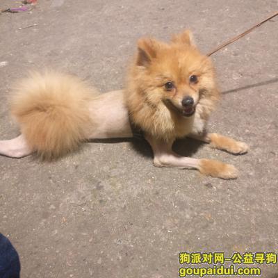 武汉找狗主人,武汉汉阳马鹦路地铁口捡到的一只黄色博美犬,它是一只非常可爱的宠物狗狗,希望它早日回家,不要变成流浪狗。