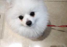 寻狗启示,白色博美,于6月四日下午在重庆观音桥茂业天地二十一楼走丢,它是一只非常可爱的宠物狗狗,希望它早日回家,不要变成流浪狗。