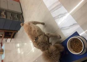 寻狗启示,福田附近捡到一只泰迪,它是一只非常可爱的宠物狗狗,希望它早日回家,不要变成流浪狗。