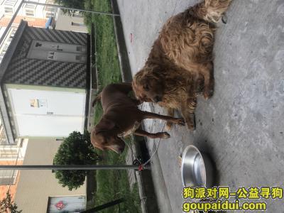 南通找狗主人,捡到两只狗一只金毛一只拉布拉多成狗,它是一只非常可爱的宠物狗狗,希望它早日回家,不要变成流浪狗。