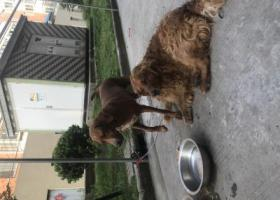 寻狗启示,捡到两只狗一只金毛一只拉布拉多成狗,它是一只非常可爱的宠物狗狗,希望它早日回家,不要变成流浪狗。
