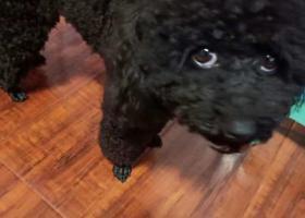 寻狗启示,重庆市大渡口区寻狗启示,它是一只非常可爱的宠物狗狗,希望它早日回家,不要变成流浪狗。