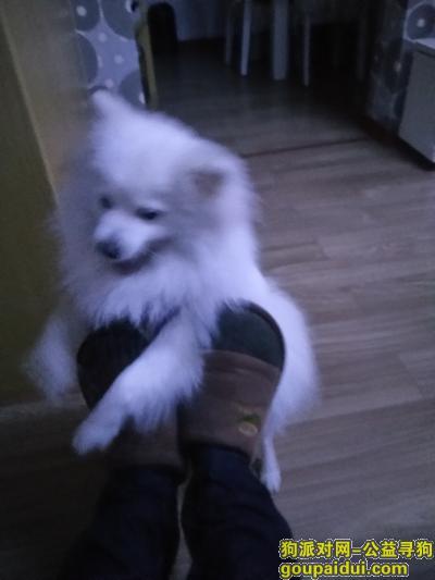 ,湘潭板塘铺丢失纯白毛银狐犬一只,它是一只非常可爱的宠物狗狗,希望它早日回家,不要变成流浪狗。