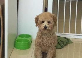 寻狗启示,寻找爱犬 棕白色泰迪犬,它是一只非常可爱的宠物狗狗,希望它早日回家,不要变成流浪狗。