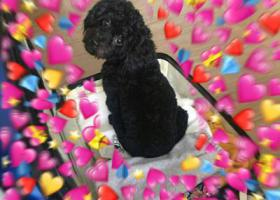 寻狗启示,寻找爱犬黑色泰迪豆豆,它是一只非常可爱的宠物狗狗,希望它早日回家,不要变成流浪狗。