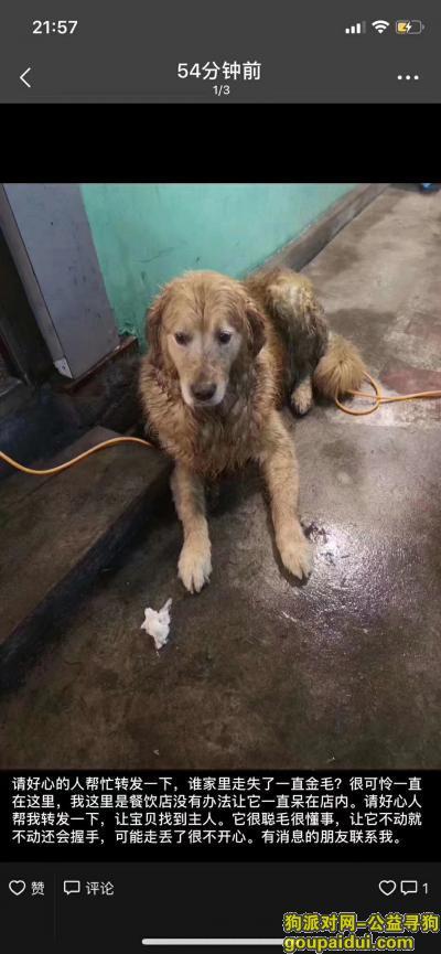 株洲寻狗主人,聪明的金毛 会握手 让它不动就不动 很听话,它是一只非常可爱的宠物狗狗,希望它早日回家,不要变成流浪狗。