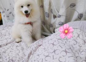 寻狗启示,萨摩耶五个月左右纯白色,它是一只非常可爱的宠物狗狗,希望它早日回家,不要变成流浪狗。