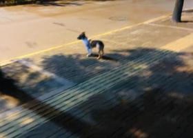 寻狗启示,崇川区 在金融汇附近跟着走了工农南路两公里后消失,它是一只非常可爱的宠物狗狗,希望它早日回家,不要变成流浪狗。