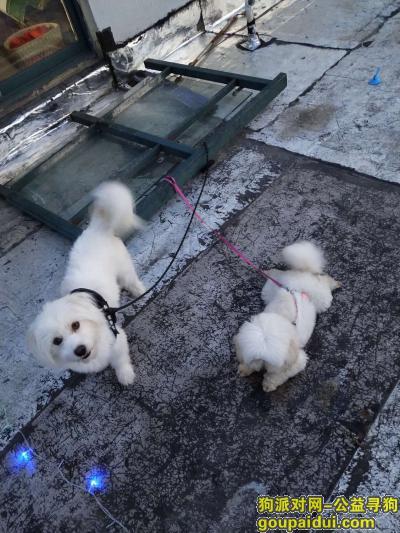 淮安找狗,白色串串,6.12大湖城邦走丢,它是一只非常可爱的宠物狗狗,希望它早日回家,不要变成流浪狗。