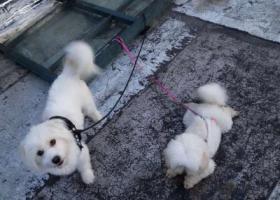 寻狗启示,白色串串,6.12大湖城邦走丢,它是一只非常可爱的宠物狗狗,希望它早日回家,不要变成流浪狗。