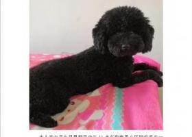 寻狗启示,六月九日中午在唐山十九个庄丢失黑色泰迪,它是一只非常可爱的宠物狗狗,希望它早日回家,不要变成流浪狗。
