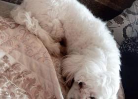 寻狗启示,无锡火车站华润万家附近丢失串串比熊一只脖子上有蓝色脖圈,它是一只非常可爱的宠物狗狗,希望它早日回家,不要变成流浪狗。