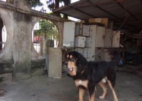 寻狗启示,寻混种獒犬来福, 樟木头金河裕丰工业区走失,它是一只非常可爱的宠物狗狗,希望它早日回家,不要变成流浪狗。