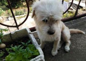 寻狗启示,狗狗走丢了,看到的或是捡到的好心人请联系我们,它是一只非常可爱的宠物狗狗,希望它早日回家,不要变成流浪狗。